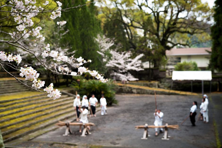薬丸自顕流鹿児島道場稽古風景・桜の花咲く福昌寺