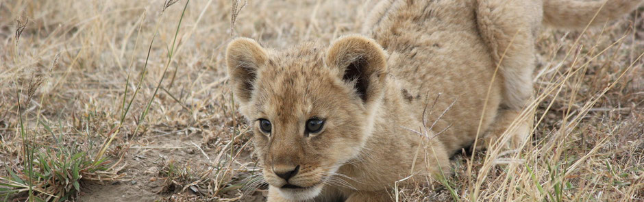 Inquisitive Lion cub