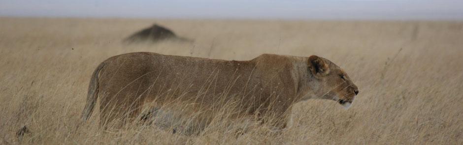 Löwen in der Serengeti