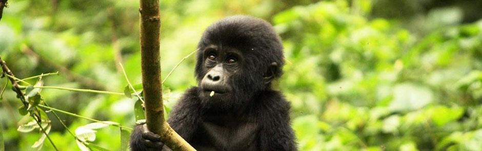 Gorilla und Schimpansen Reisen in Uganda