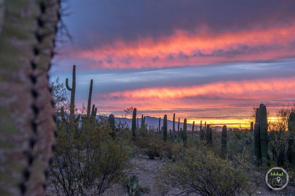 Tucson Saguaro Cactus