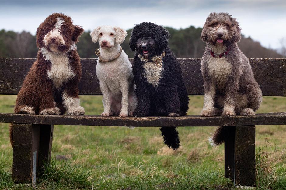 spanischer wasserhund in not