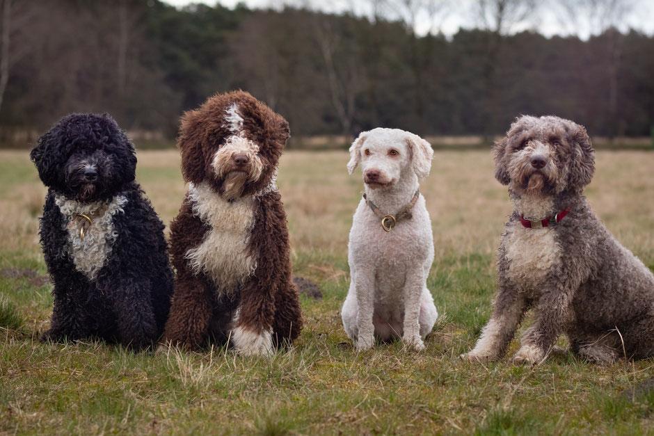 Die Rasse Perro De Agua Espanol Spanischer Wasserhund Perro Nord Spanische Wasserhund Welpen