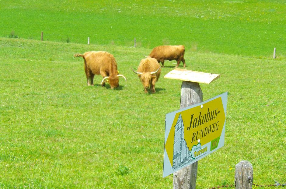 Am Jakobus-Rundweg trifft man die freundlichen Highland-Rinder