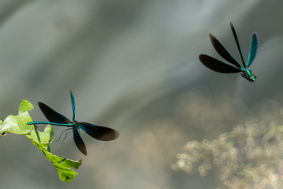 Sommer. Liebesspiele. Hier jagen sich Prachtlibellen spielerisch an dem Fluss. Das Hochwasser hat ihnen nicht zugesetzt, wohl aber der Landschaft.