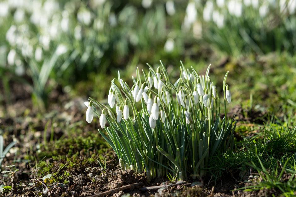 Schneeglöckchen. Der Frühling steht vor der Tür. Die Temperaturen sind ungewöhnlich hoch, die Kraniche kommen schon zurück. Der Klimawandel lässt grüßen!