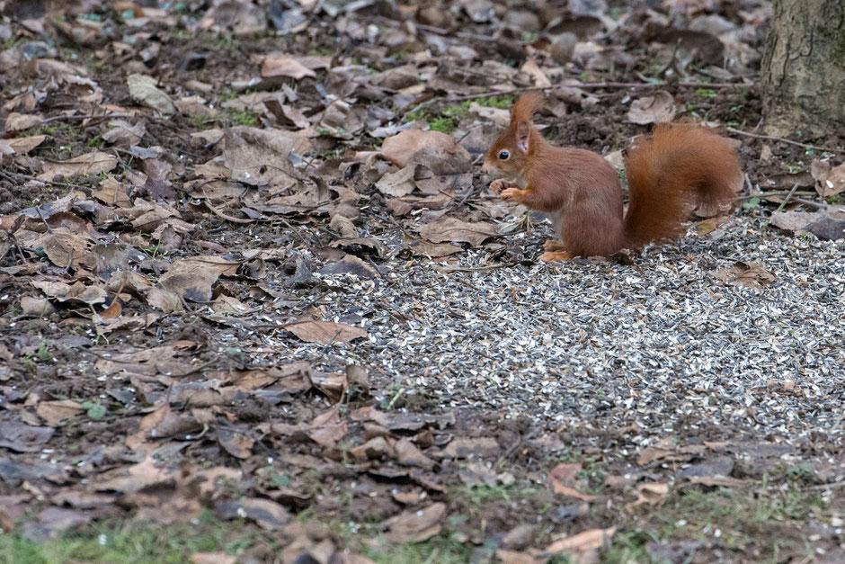 Kein Winter, kein Winterschlaf. Das Eichhörnchen ist auch im Januar unterwegs, hier bedient es sich am Vogelfutter.