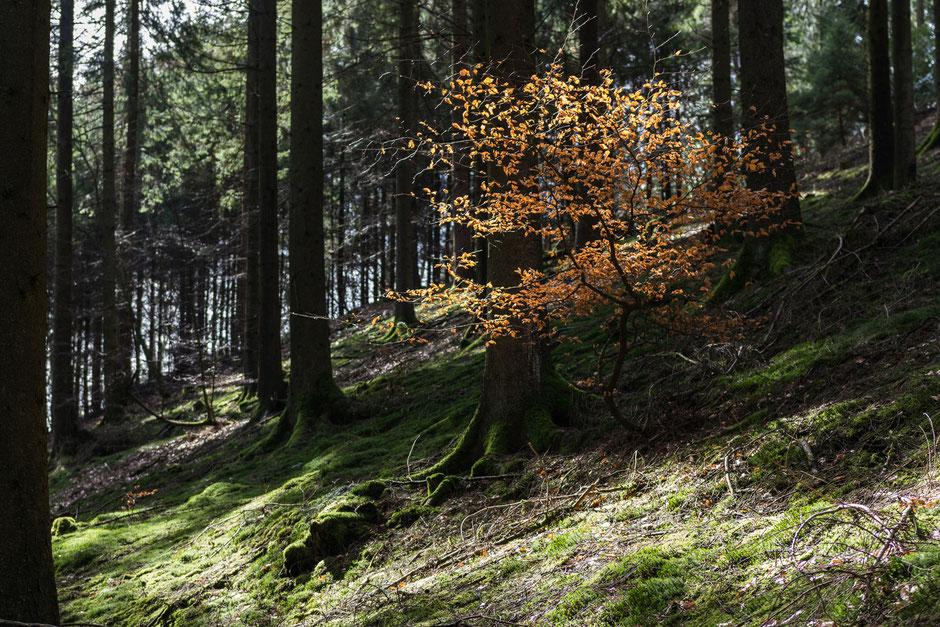 Den Frühling muss man sich noch denken: die braunen Blätter des Vorjahres hängen noch. Aber jetzt geht es ganz schnell: die Knospen sind schon zu sehen!