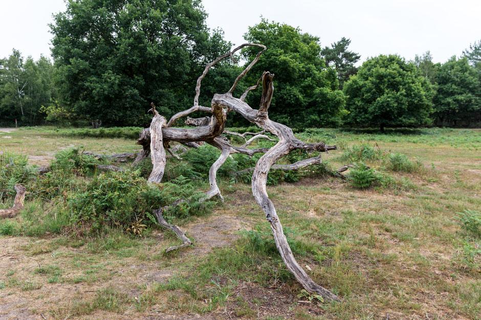 Wahner Heide. Eine Baumleiche. Ein paar Kilometer weiter, etwa 50 Meter von uns entfernt, fällt ein Baum um und kracht mit Getöse in den Wald.