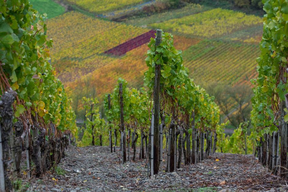 Am 1. November im Ahrtal. Der Herbst hat das Weinlaub in herrliche Farben getaucht.