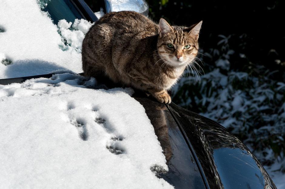 Die Katze lernt: Auf der Motorhaube ist es doch eigentlich immer warm.