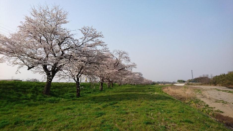 壬生町南部 東雲橋付近の桜