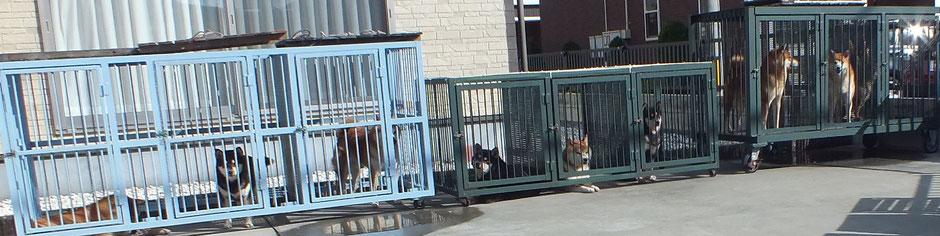 日光浴をしている柴犬たちの画像