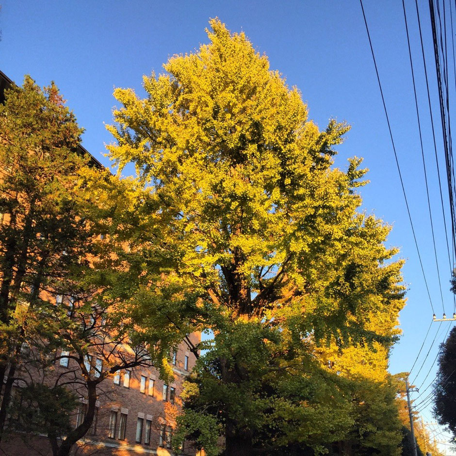 Ginkgo Tree at Hitotsubashi University Tokyo Kunitachi nature redleaves season autumn winter walking tourist spot TAMA Tourism Promotion - Visit Tama イチョウの木 一橋大学 東京都国立市 自然 銀杏 紅葉 秋冬 散策 観光スポット 多摩観光振興会