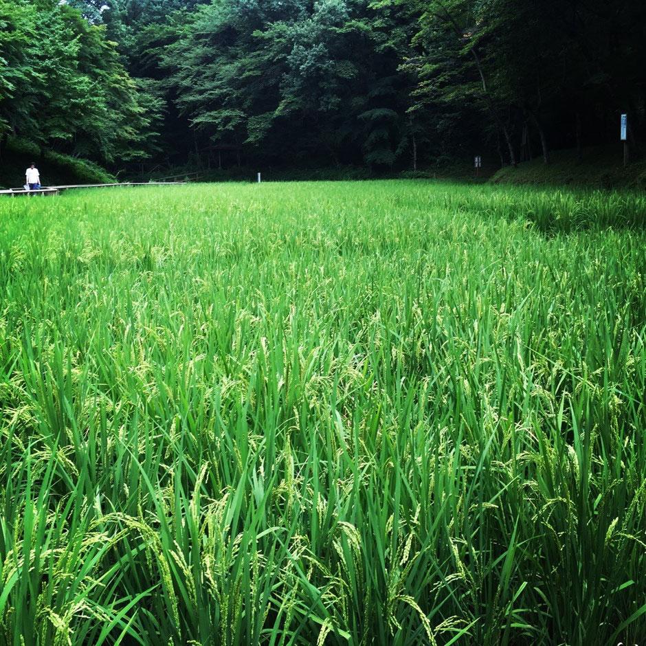 Rice field at Noyamakita Park Tokyo Musashimurayama walking picnic refresh tourist spot TAMA Tourism Promotion - Visit Tama 市立野山北公園 水田 東京都武蔵村山市 散策 ピクニック リフレッシュ 観光スポット 多摩観光振興会