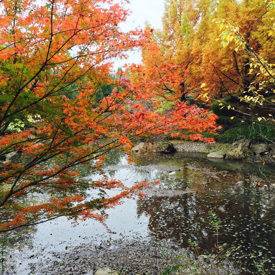 Junsai Pond with Red Leaves at Mizuho View Park Tokyo Mizuho town nature maple tree beautiful nice hidden healing retreat tourist spot TAMA Tourism Promotion - Visit Tama ジュンサイ池の紅葉 瑞穂ビューパーク 東京都瑞穂町 自然 癒し 公園 紅葉 穴場 隠れスポット 多摩観光振興会
