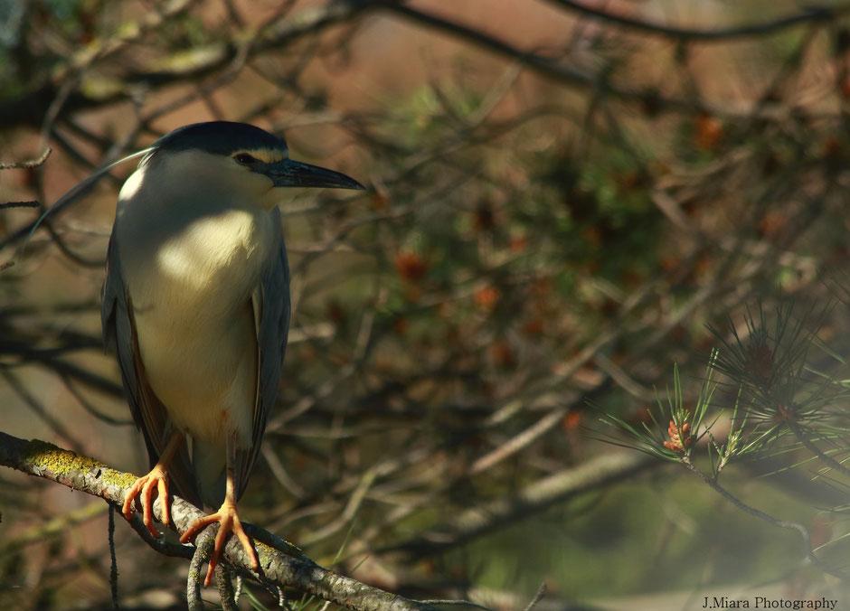 week end nature en Camargue. www.missaventure.com blog d'aventures, nature et photos. parc ornithologique du Pont de Gau, heron bihorau.