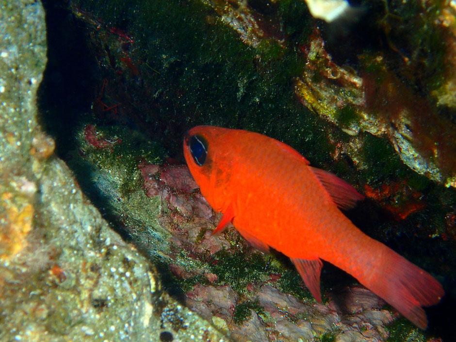 Apogon, sentier sous marin Port Cros, Hyeres (FRANCE) missaventure blog