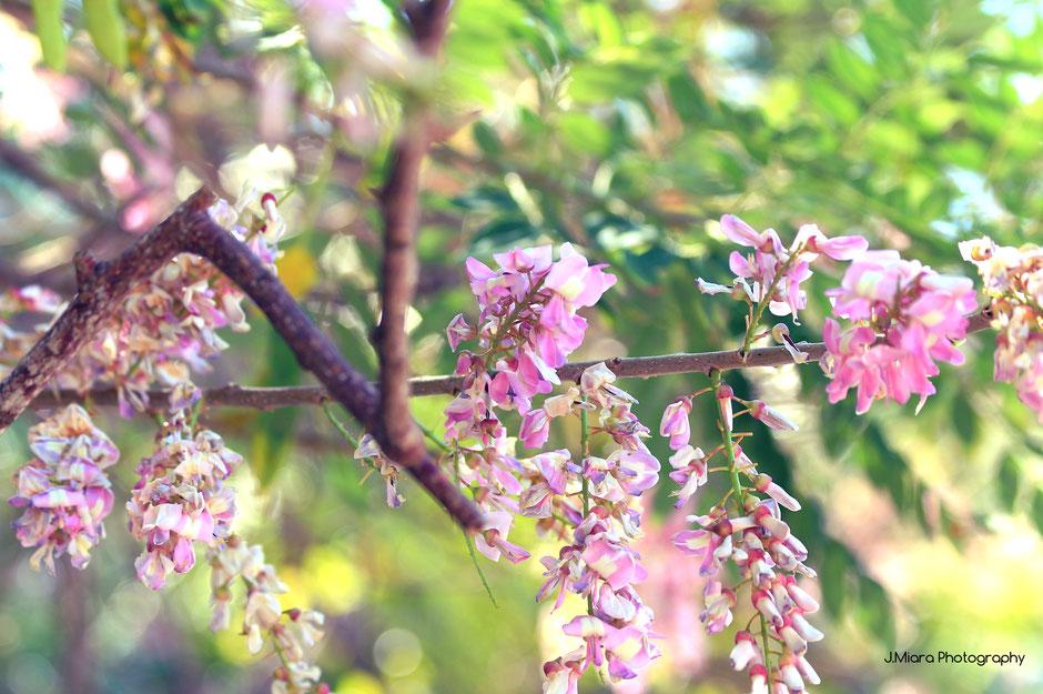 Glycine Parc national de Manuel Antonio. Road trip au Costa Rica. www.missaventure.com blog voyage d'aventures, nature et photos