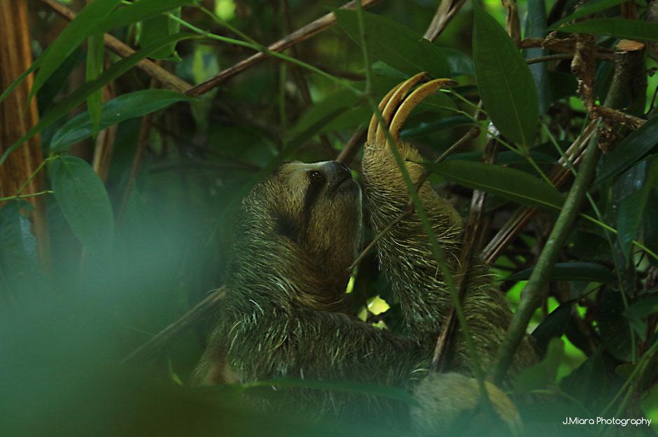 Paresseux trois doigts  Parc national de Manuel Antonio. Road trip au Costa Rica. www.missaventure.com blog voyage d'aventures, nature et photos