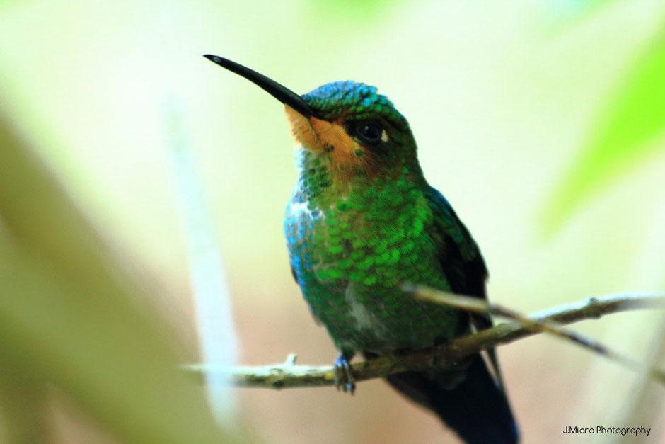 colibri Monteverde. Costa Rica. missaventure blog.