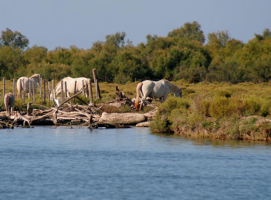 week end nature en Camargue. www.missaventure.com blog d'aventures, nature et photos. chevaux camaguais