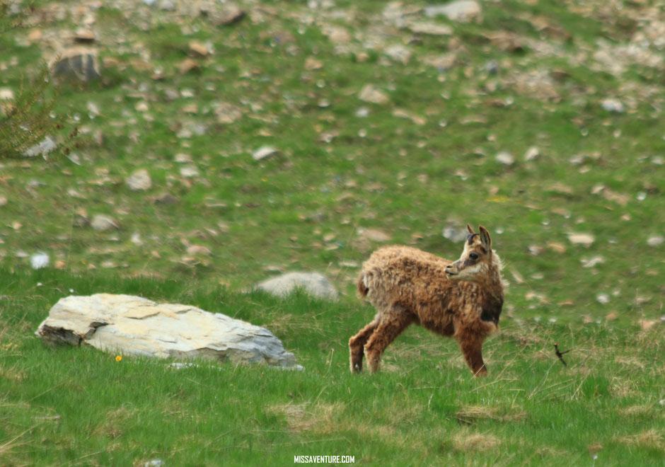 Jeune chamois sur le sentier. Randonnée et bivouac dans le Mercantour, allos. www.missaventure.com blog voyage d'aventures, nature et photos.
