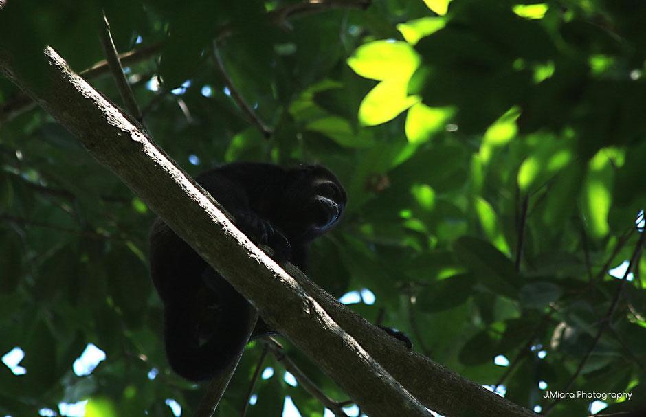 singe hurleur, Parc national de Manuel Antonio. Road trip au Costa Rica. www.missaventure.com blog voyage d'aventures, nature et photos