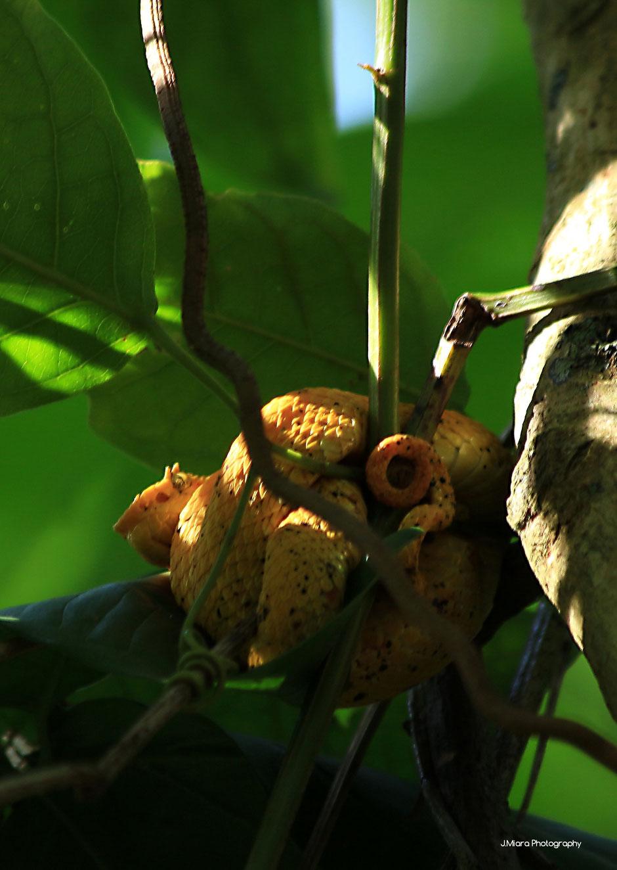 vipere de Schlegel Cahuita,COSTA RICA. missaventure blog
