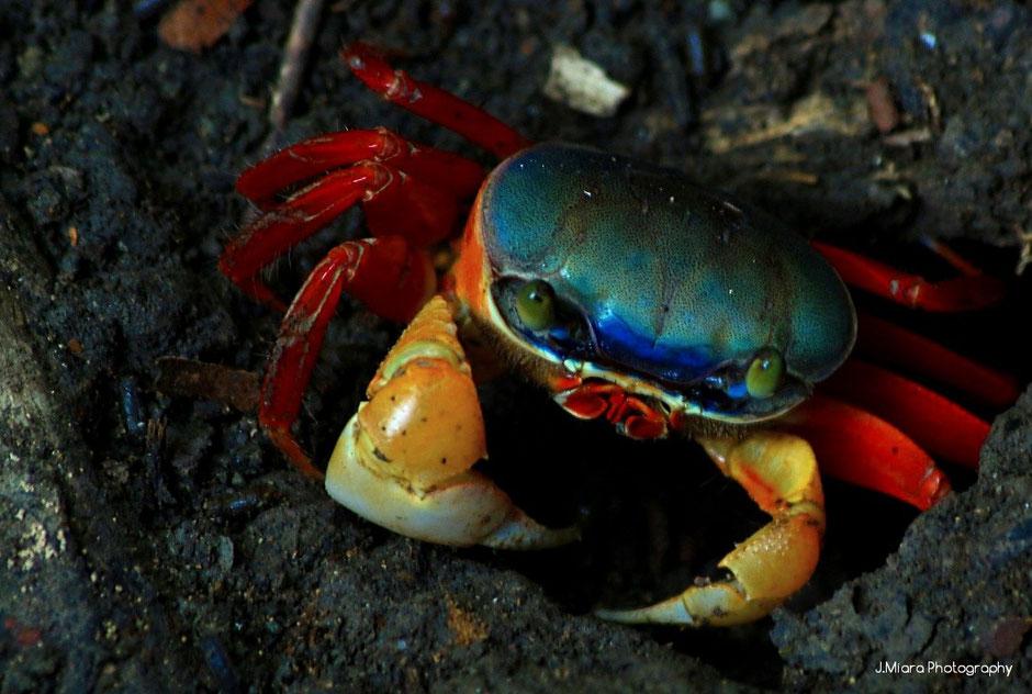 Crabe Manuel Antonio.Costa Rica. missaventure blog