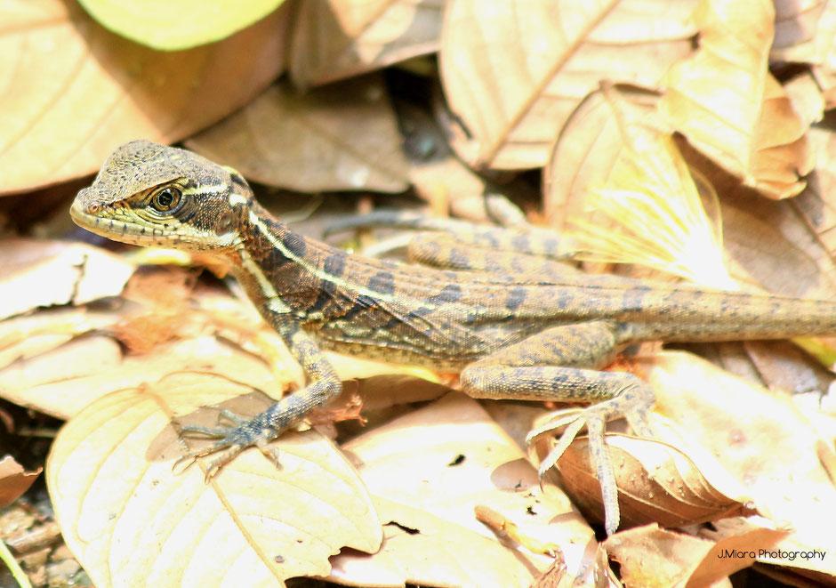 Lezard Jesus Christ, Parc national de Manuel Antonio. Road trip au Costa Rica. www.missaventure.com blog voyage d'aventures, nature et photos