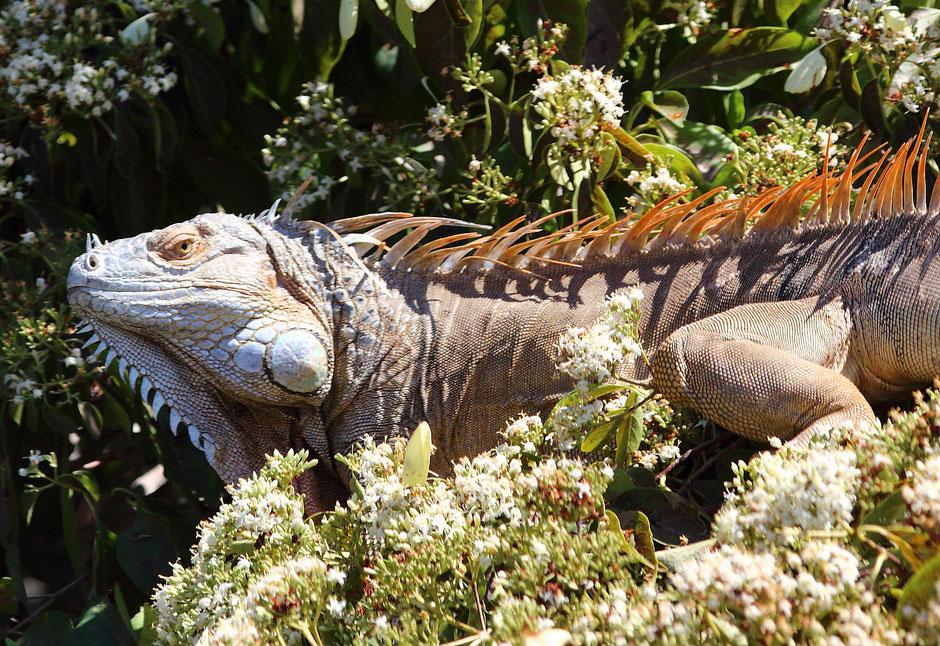 Iguane Palo Verde. COSTA RICA. missaventure blog