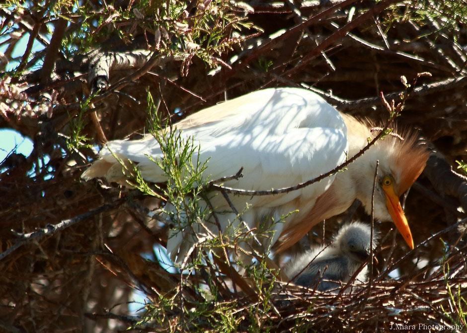 Camargue, www.missaventure.com. blog aventures, nature et photo. aigrette garde boeuf et son petit