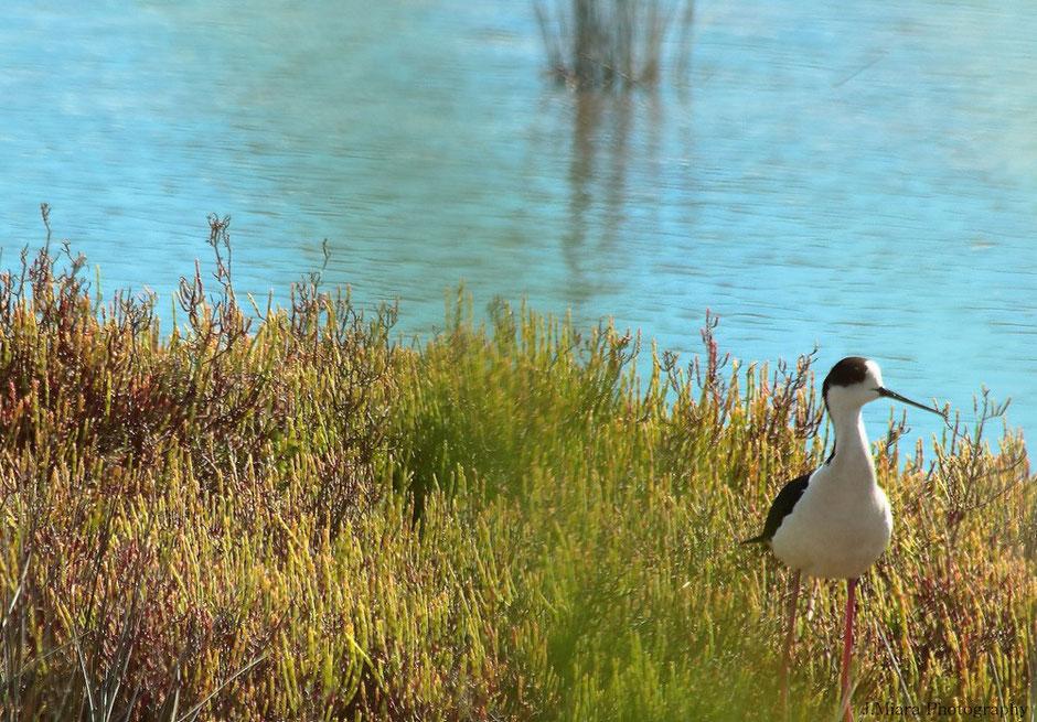 CAMARGUE. missaventue blog. www.missaventure.com aventures, nature et photos. chevalier cul blanc, reserve du Scamandre