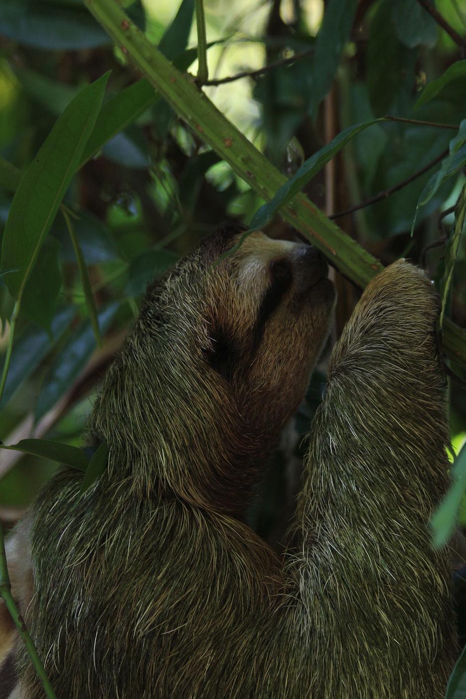 Paresseux à trois doigts Parc national de Manuel Antonio. Road trip au Costa Rica. www.missaventure.com blog voyage d'aventures, nature et photos