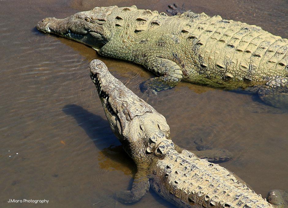Crocodiles Tarcoles, Road trip au Costa Rica. www.missaventure.com blog voyage d'aventures, nature et photos