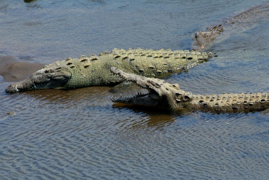 Pont à crocos Tarcoles, Road trip au Costa Rica. www.missaventure.com blog voyage d'aventures, nature et photos