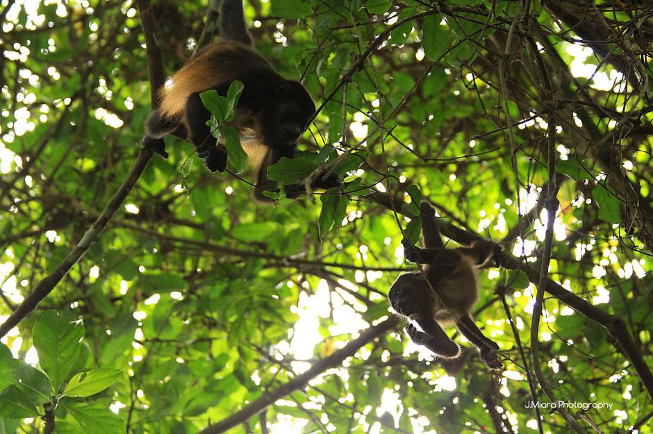 maman et bebe singes hurleurs à Cahuita, COSTA RICA. missaventure blog