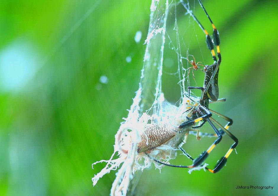 Araignée Golden Orbl Parc national de Manuel Antonio. Road trip au Costa Rica. www.missaventure.com blog voyage d'aventures, nature et photos