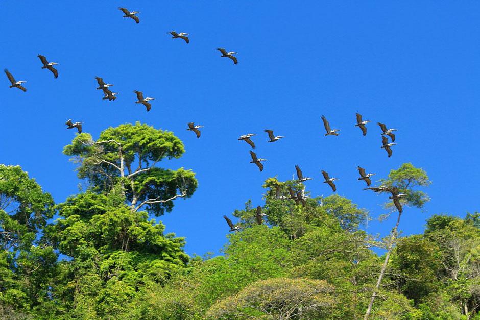 Vol de pelicans, COSTA RICA.missaventure blog