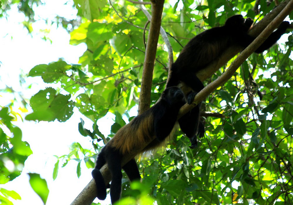 Singe hurleur Cahuita. COSTA RICA. missaventure blog