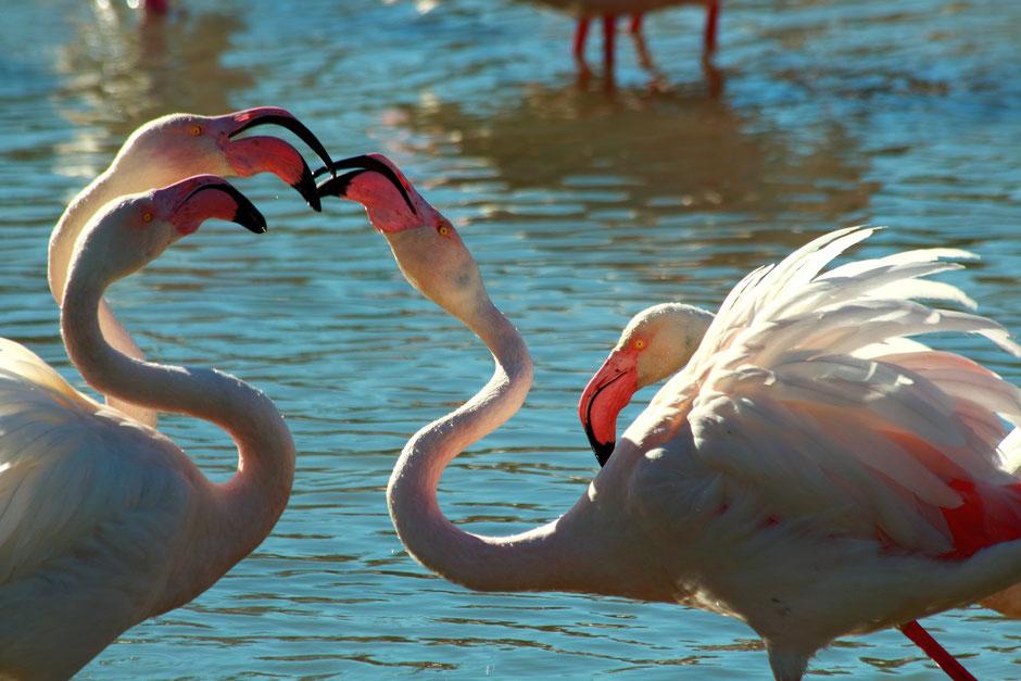 week end nature en Camargue. www.missaventure.com blog d'aventures, nature et photos. flamants parc ornithologique du pont de Gau