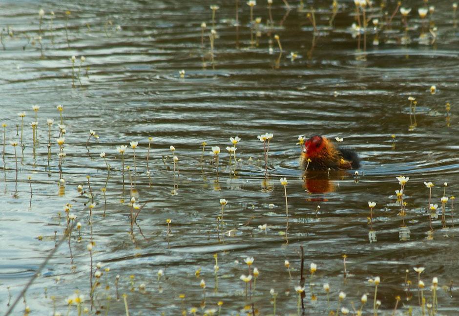 week end nature en Camargue. www.missaventure.com blog d'aventures, nature et photos. réserve du Scamandre foulque et ses bebes