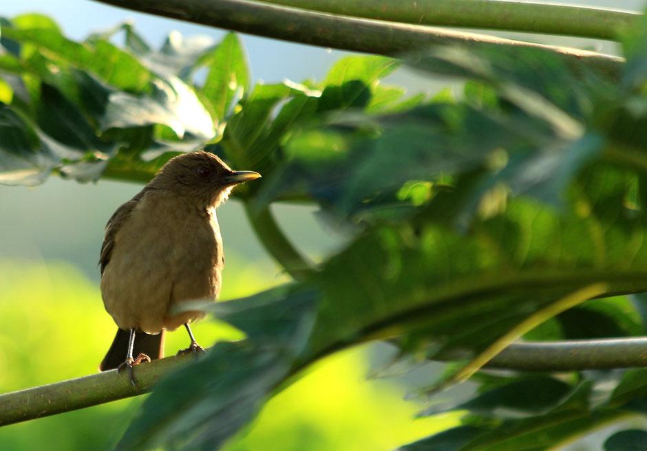 Oiseau à l'Arenal. COSTA RICA. missaventure blog