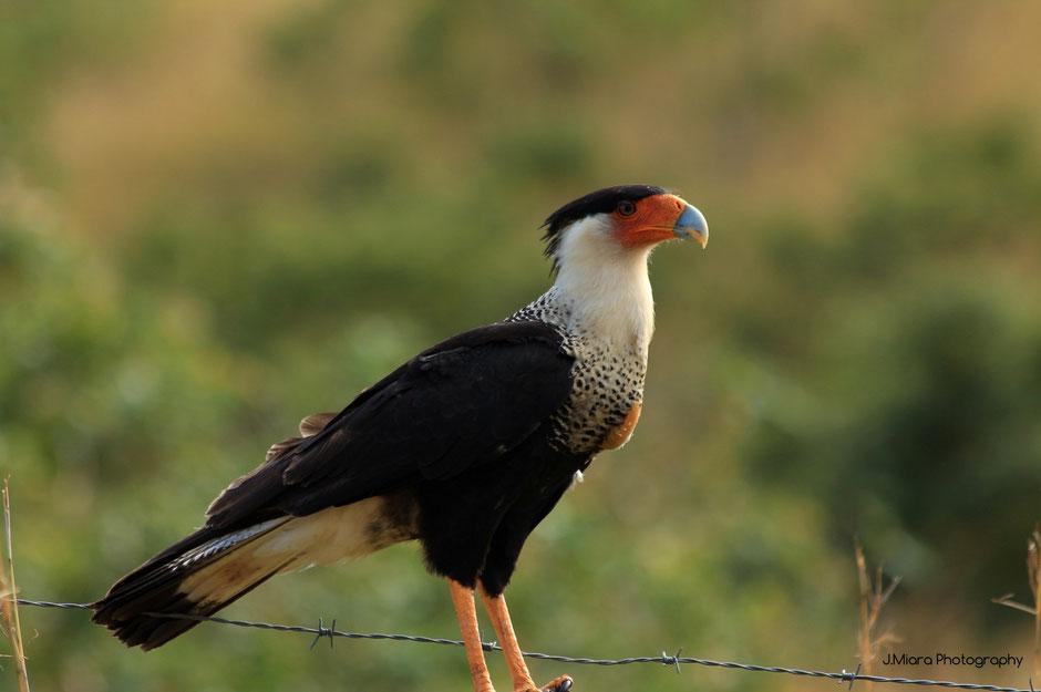 Road trip en direction du Rio Celeste,Costa Rica. Oiseau: Caracara.missaventure blog