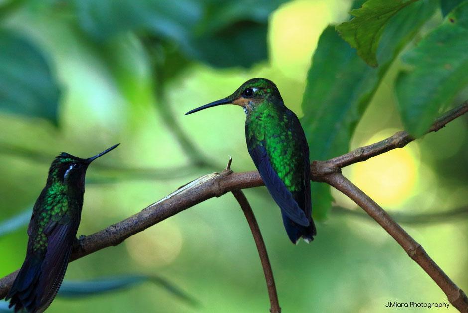 Monteverde coté nature café colibri .road trip au COSTA RICA. www.missaventure.com blog voyage d'aventures, nature et photos