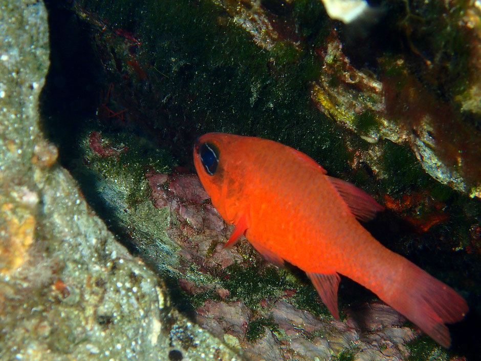 Apogon, Sentier sous marin Port Cros, plage de la palud, Hyeres (FRANCE) missaventure blog