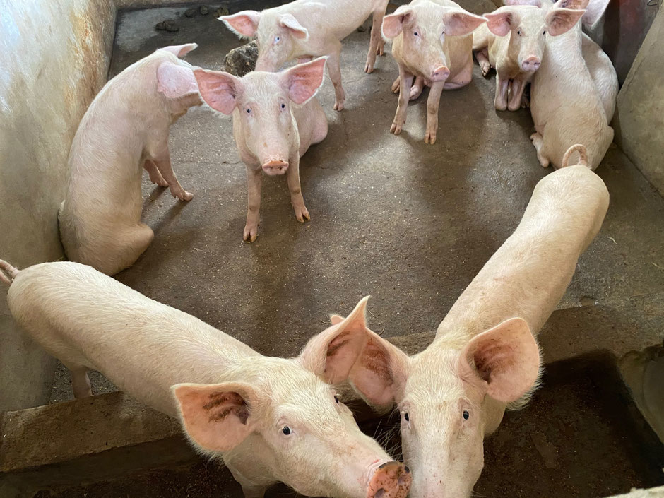 Schweinezucht der Dada Wadogo Schwestern – blitzsauber.