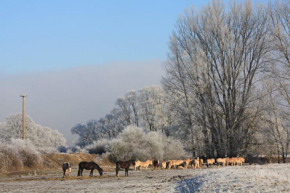 Mittagspause - Im Winter bekommen die Pferde Heu zugefüttert