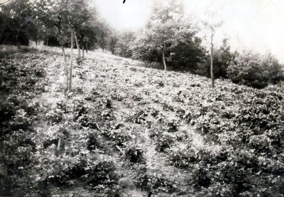 """1930 """"Erdbeeranlage"""""""